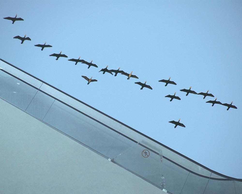 ברווזים נודדים מדרגות נעות 2